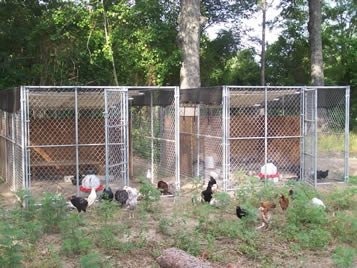 Chain Link Poultry Netting Protects Poultry In Place
