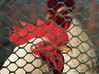 Two chicken is in the areas enclosed by the hexagonal plastic poultry fence.