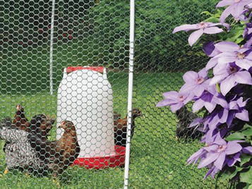 Several chickens in the enclosure made by the hexagonal plastic poultry fence.