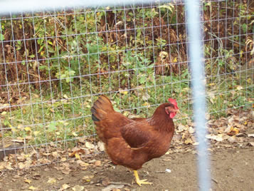 A chicken in the welded poultry netting enclosure.