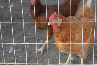 Two chickens are in the area enclosed by the welded poultry netting.